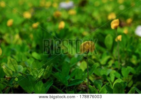Close up yellow Arachis pintoi flower (Pinto peanut) and blurred green leaf
