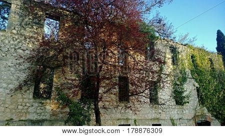 Beautiful tree with bright red leaves on a background of the destroyed abandoned old building in Abkhazia