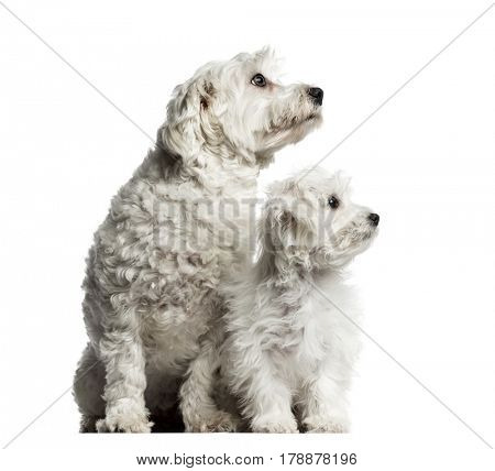 Maltese and puppy looking away in the same direction, isolated on white