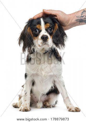 Cavalier King Charles Spaniel sitting and caressed, 9 months old, isolated on white