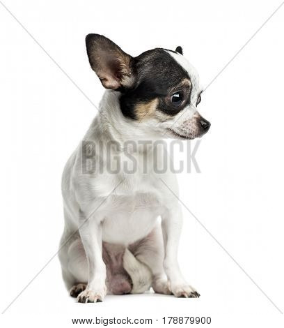 Chihuahua sitting and looking down, 1 year old, isolated on white
