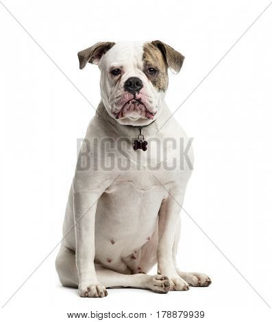American Bulldog sitting, 1 year old, isolated on white
