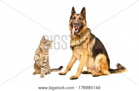 German Shepherd dog and playful cat Scottish Straight, isolated on a white background