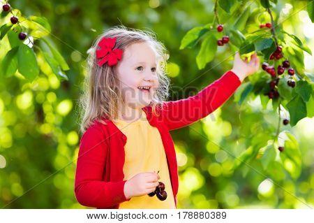 Little Girl Picking Cherry In Fruit Garden