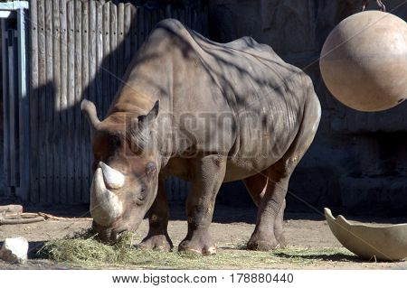 Eastern Black Rhinoceros eating food outside on a sunny day