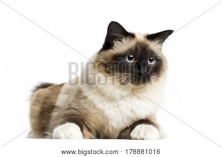 Birman lying, 3 years old, isolated on white