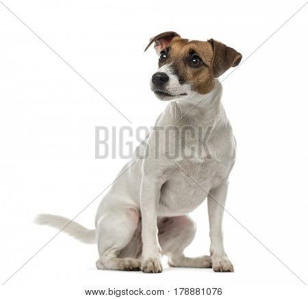 Jack Russell Terrier sitting and looking away,2 years old, isolated on white