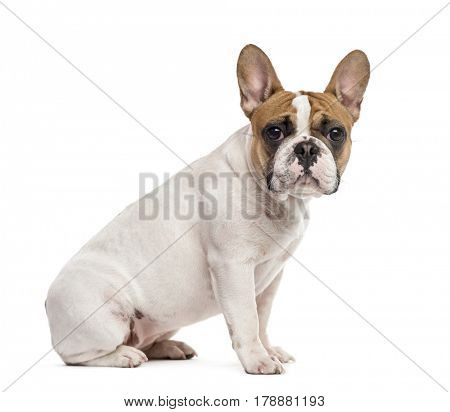 Side view of a French Bulldog sitting and looking at the camera, isolated on white