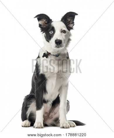 Puppy Border Collie sitting, 5 months old, isolated on white
