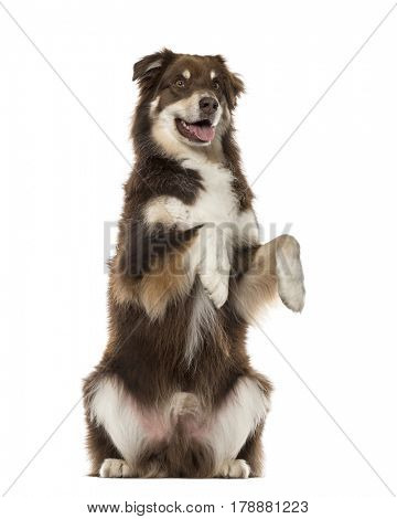 Australian Shepherd on hind legs, 6 years old , isolated on white