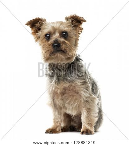 Yorkshire Terrier sitting, 6 years old , isolated on white