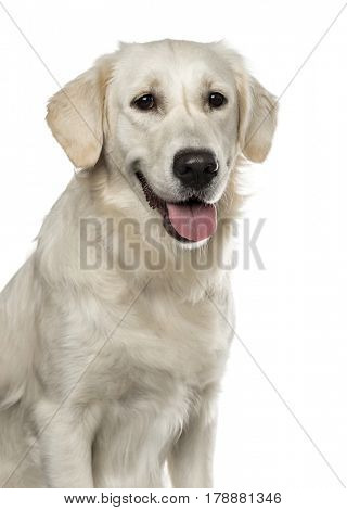 Close-up of a Golden Retriever panting, 19 months old , isolated on white