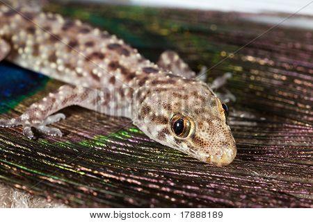 Macro images of Mediterranean Gecko (Hemidactylus turcicus) poster