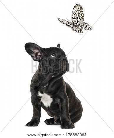 Puppy Black French bulldog looking at a black and white butterfly , isolated on white