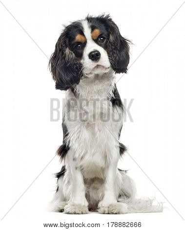 Cavalier King Charles Spaniel sitting, 10 months old , isolated on white
