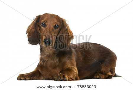 Puppy Dachshund lying down, isolated on white, 6 months old