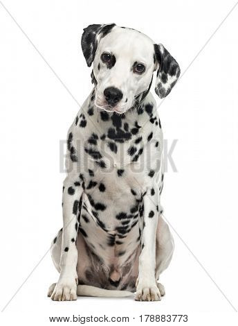 Dalmatian sitting, isolated on white (5 years old)