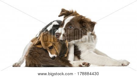 Puppies Border Collie friendship, isolated on white,15 weeks old