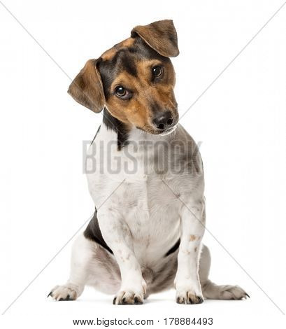 Jack Russell Terrier sitting , isolated on white