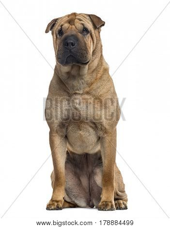 Shar Pei sitting, isolated on white (3 years old)