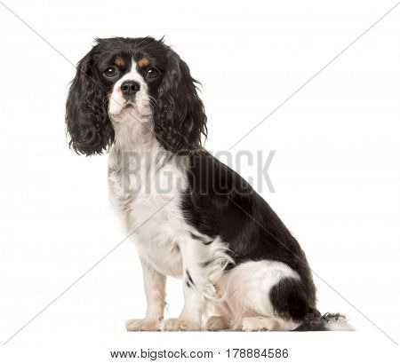 Side view of a Cavalier King Charles sitting, isolated on white