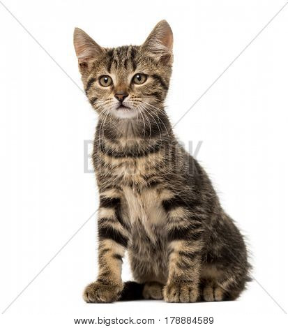 European cat sitting , isolated on white