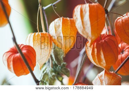 Bouquet Of Bright Red Dry Physalis Husk, Closeup