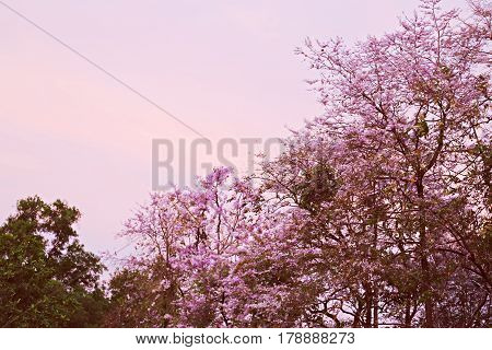 Nature cheery trees blossoming on spring time seasons