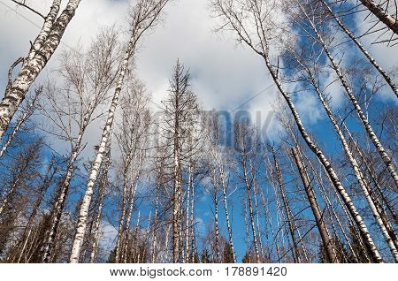 Bare birch trunks on blue sky background in spring forest