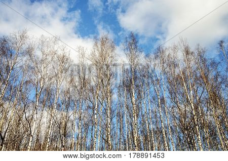 Bare birch trunks on blue sky background in spring forest sunny day