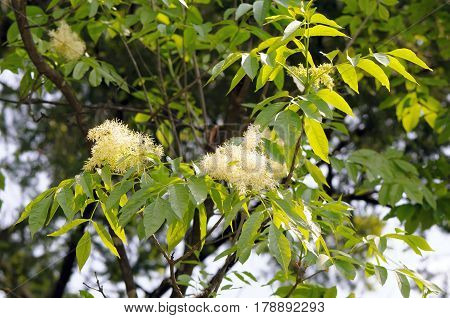 Foliage and flowers of common ash (Fraxinus excelsior).