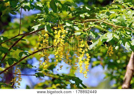 Foliage and flowers of common laburnum (Laburnum anagiroides).