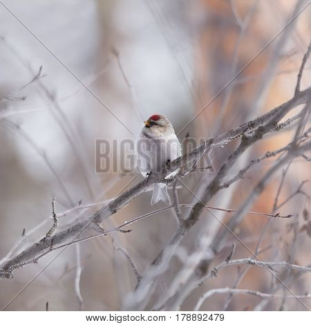 Male redpoll sits on a branch of alder on a light background
