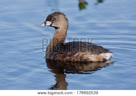 Pied-billed grebe also know as american dabchick swimming in pond.