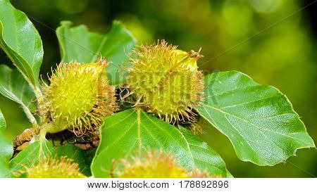 Foliage and nuts of common beech (Fagus sylvatica).