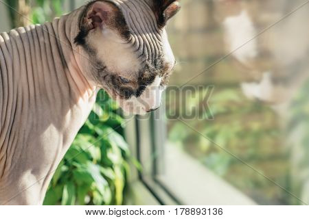 Canadian hairless sphinx cat sits on a window sill with houseplants in front of a window and basks in the sunshine