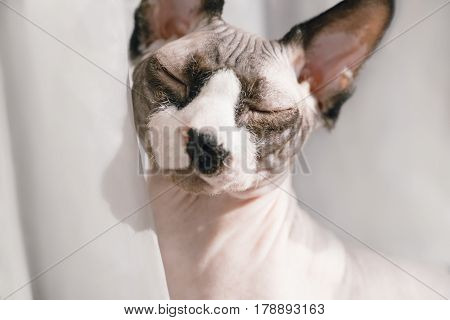 Canadian hairless sphinx cat sits in front of a window and basks in the sunshine. Eyes are closed of pleasure. Happy pet rests on a sun. White curtains at the background
