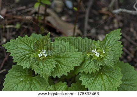 Spray of lamium album, commonly called white nettle or white dead-nettle, Zavet, Bulgaria