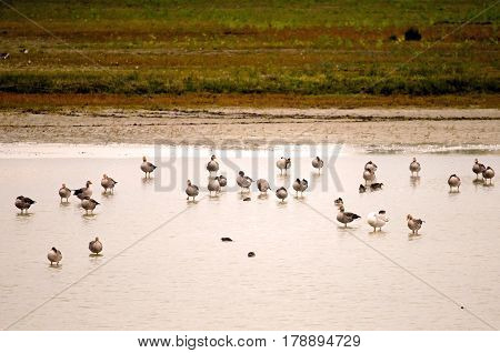 Colony of Greylag gooses (Anser anser) during wintering (Italy, Isola della Cona).