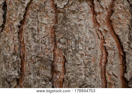 Pine tree bark texture. Bark tree background. Abstract texture and background for designers. Old vintage wood. Wooden pattern. Closeup view of old pine tree bark.