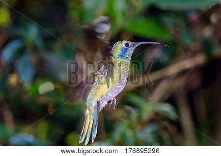 Beautiful green violet-ear (Colibri thalassinus) in flight.