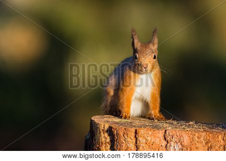 Red Squirrel (sciurus vulgaris) sat on a tree stump Caledonian Forest ScotlandUK