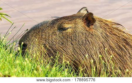 Capybara Feeding On Grass