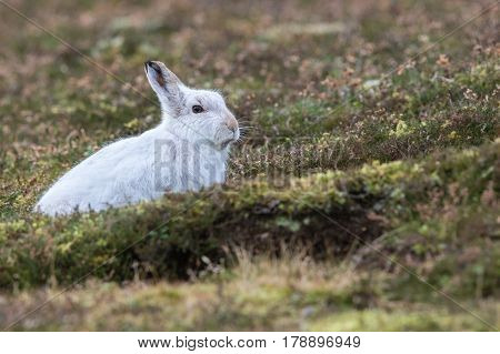 Close up of Mountain Hare (Lepus timidus) in winter white coat in heather