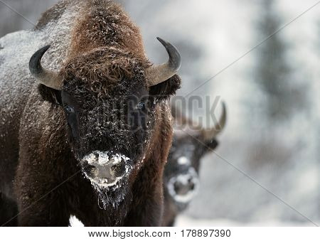 Bison winter day in the snow buffalo