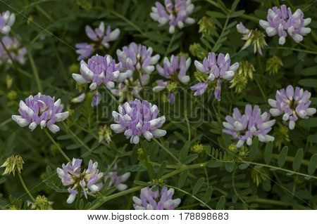 View of a cluster of crown vetch, vicia sativa or coronilla varia  wildflower on the meadow, Sofia, Bulgaria