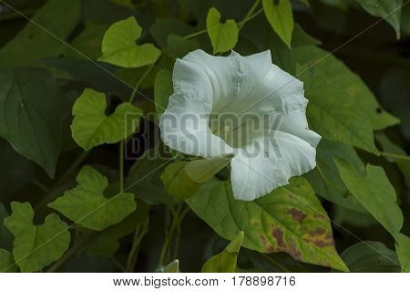 White convolvulus flower with its tendrils  on the various plant, Sofia, Bulgaria