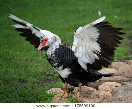 The magnificent male Muscovy Duck spreads its wings