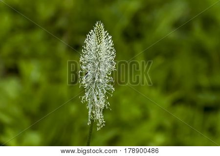 Photograph of plantain or plantago flower blooming in springtime, Sofia, Bulgaria