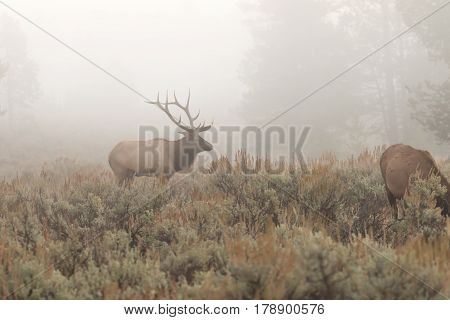 a bull elk in thick fog during the fall rut